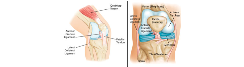 Facts about knee anatomy broadgate spine joint clinic broadgate spine centre knee diagram ccuart Images